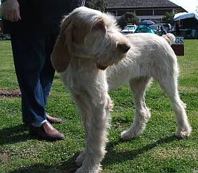 Spinone turning his head