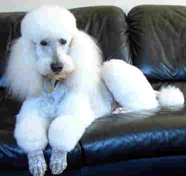 white standard poodle reclining on black leather sofa