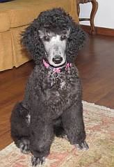 Silver standard poodle puppy, sitting