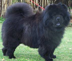 A long haired black chow