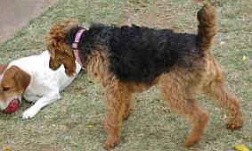 Welsh terrier playing with Jack Russell