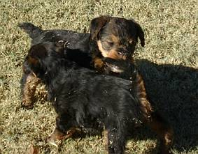 Welsh terrier puppies playing a rough game