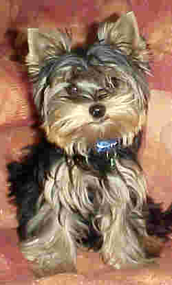 Yorkshire terrier puppies are cute, and they know it!
