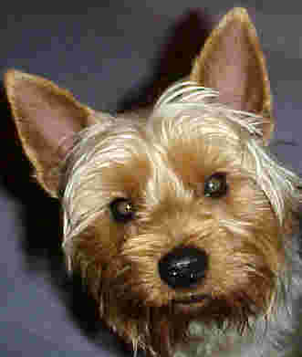 Yorkshire terrier looks enquiringly at camera